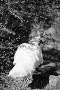 Janelle 's white peacock, 2015, black and white photo, cm 60 x 40, ed. 3 + 2 AP